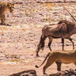 Dos hermanas leonas atacando a un oryx
