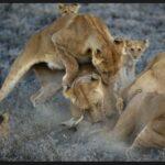 Quince leonas peleando con una leona nomada