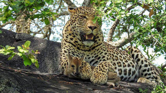 leopado-impala