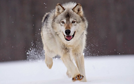 lobo corriendo