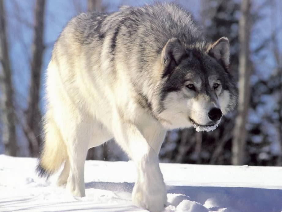 lobo nieve