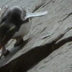 pingüino saltarrocas