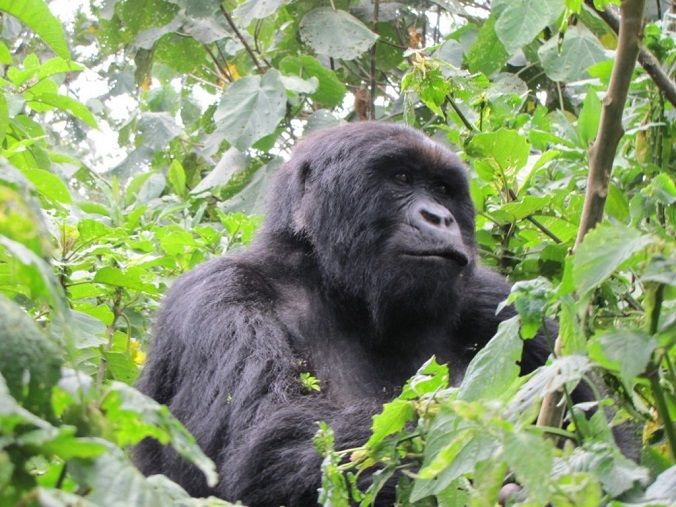 gorila-salvaje