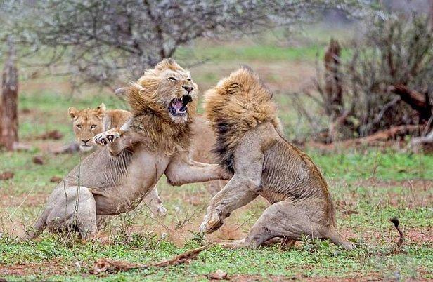 grandes-leones-peleando