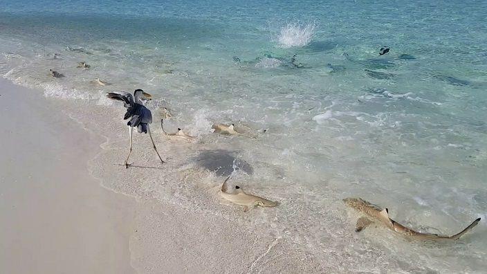 grulla-decenas-tiburones-playa