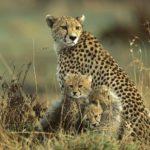 Guepardos protegiendo a sus crias de un rinoceronte