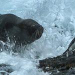 Enorme leon marino cazando pingüinos