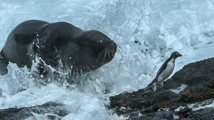 -leon-marino-cazando-pingüino