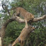 Leopardo intenta cazar un babuino y….