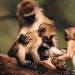monos del nuevo mundo