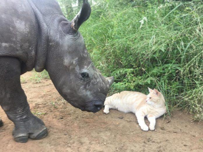 rinoceronte gato