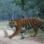 -tigre-carretera