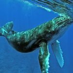 Grandes documentales – En la zona de alimentacion de las ballenas jorobadas
