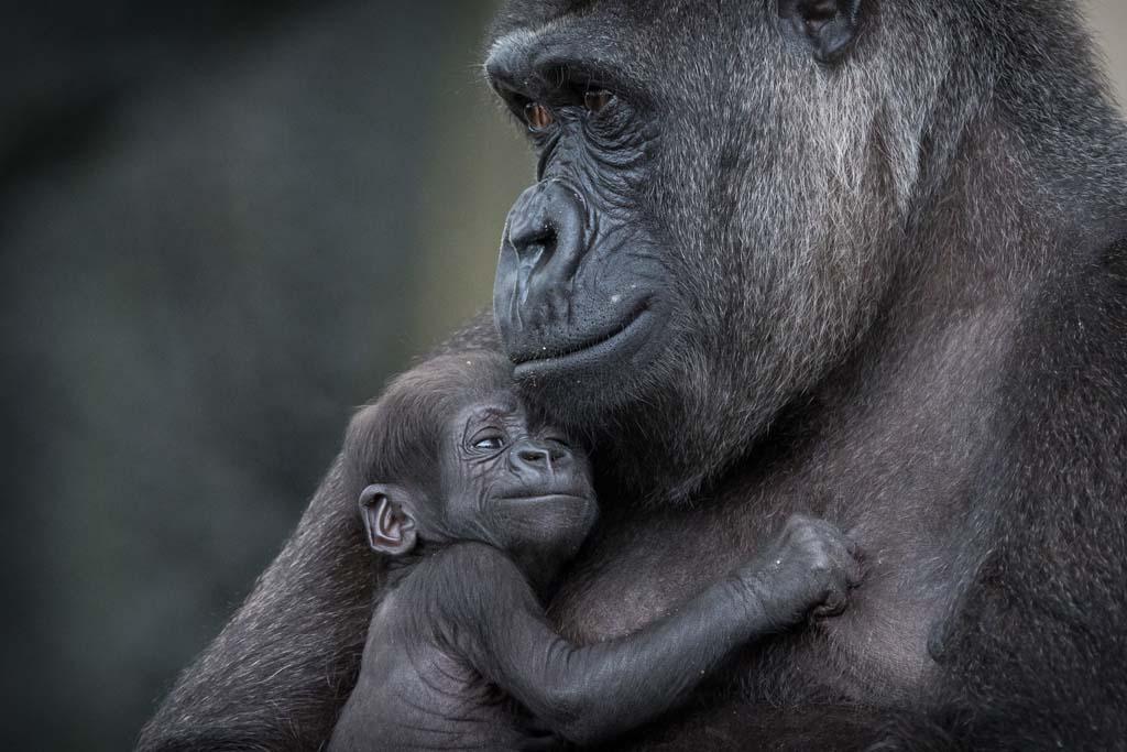 gorila recien nacido madre
