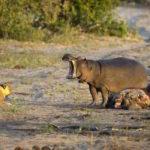 Hipopotamo se invita a la cena de los leones
