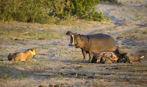 leon hipopotamo