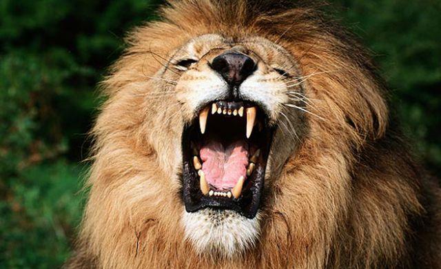 leon rugiendo
