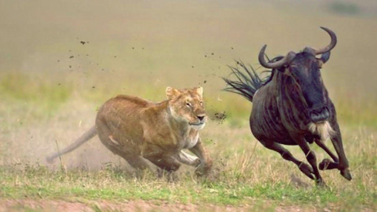 leona persiguiendo ñu