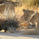 Siete leones no pueden cazar un puercoespín