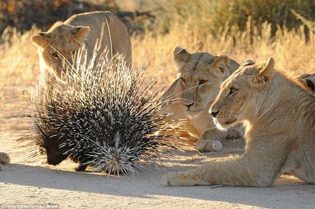 leones-cazando-puercoespin