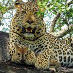 Leopardo con una cria de antílope