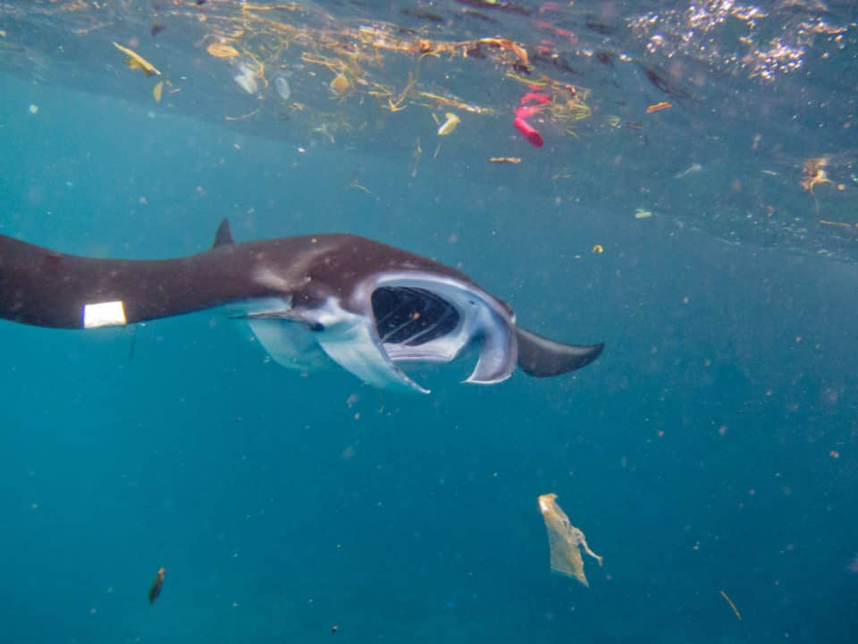 mantarraya nadando en plastico indonesia