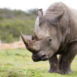 Grandes documentales – Rinocerontes, la maldición del cuerno mágico