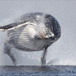Vídeo recopilación de saltos de ballenas jorobadas