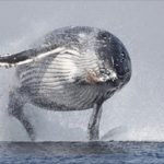 ballena jorobada saltando del agua