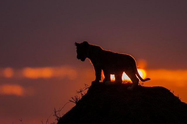 cachorro leon al atardecer