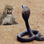 cachorro-leopardo-cobra-real