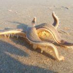 Alucinante, estrella de mar caminando por la playa