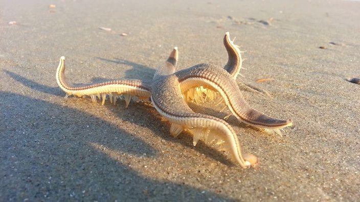 estrella-de-mar-playa-arena