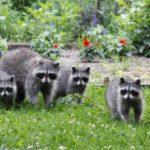 Familia mapache en el porche