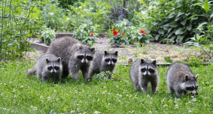 familia mapaches