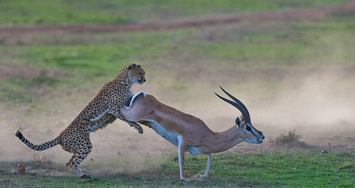 gacela mata guepardo
