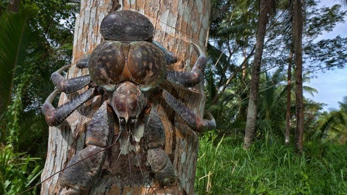 indonesia-bicho-araña-gigante