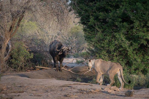 leon-bufalo-cara-a-cara