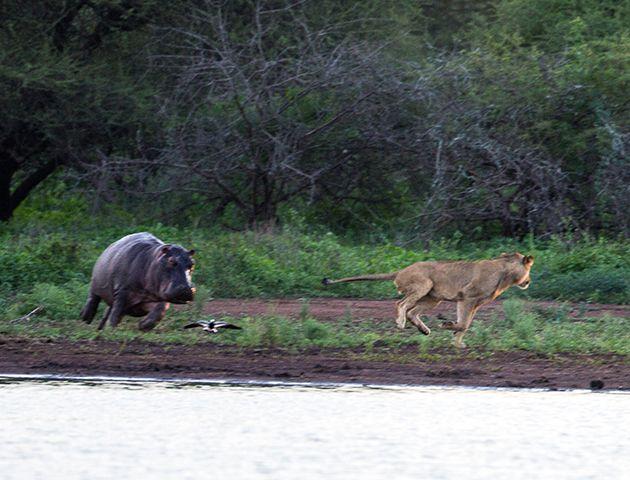 -leon-hipopotamo