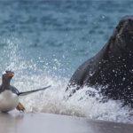 Leon marino persiguiendo pigüinos en la playa
