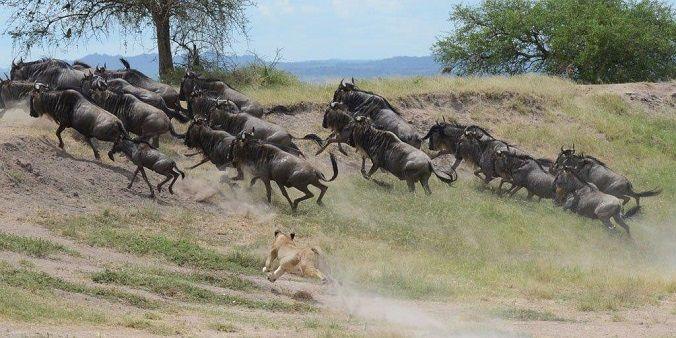 leones-cazando-ñus