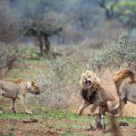 Dos manadas de leones peleando