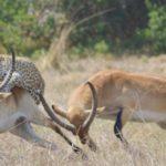 Leopardo cazando una gacela en un suspiro