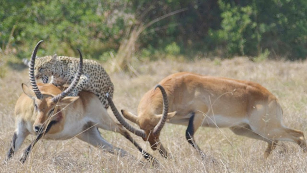 leopardo cazando gacela