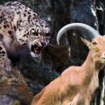 Impresionante: Cabra montesa intenta escapar de un leopardo de las nieves