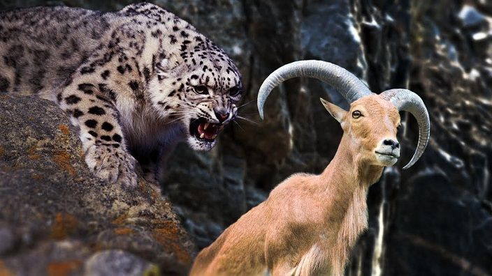 leopardo-de-las-nieves-cabra