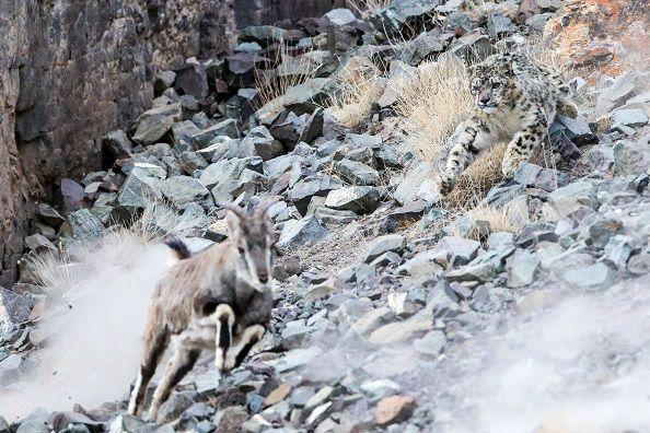 leopardo-de-las-nieves-persiguiendo-cabra