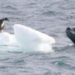 leopardo marino inspeccionando una cria de pingüino