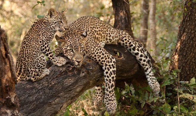 leopardo-thandi-y-su-cria