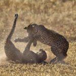 Sangrienta pelea de leopardos por el territorio